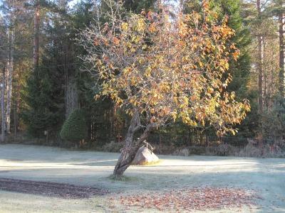 Huurteessa oleva syksyisiä lehtiä täynnä oleva puu.