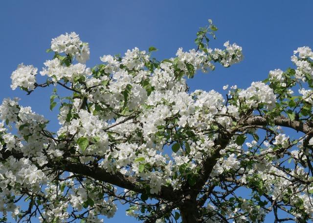 Omenapuun kukkia.