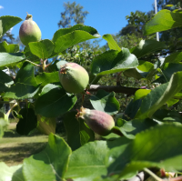 Omenapuu, jossa on omenan raakileita.