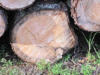 Kaadettujen puiden runkoja.