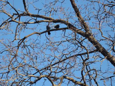 Puun oksia, joista löytyy kaksi lintua.