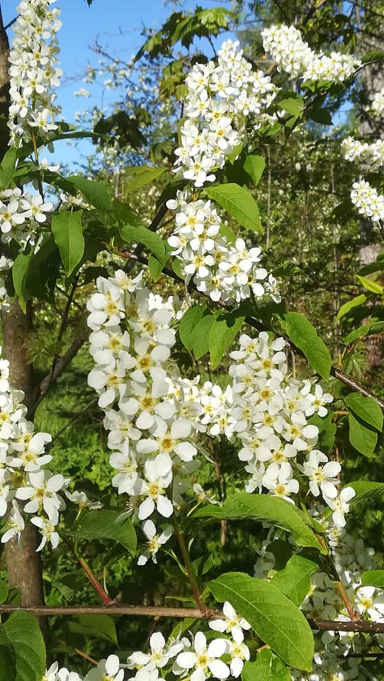 Valkoisia puun kukkia.