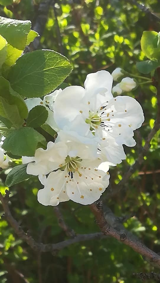 Omenapuun kukka.