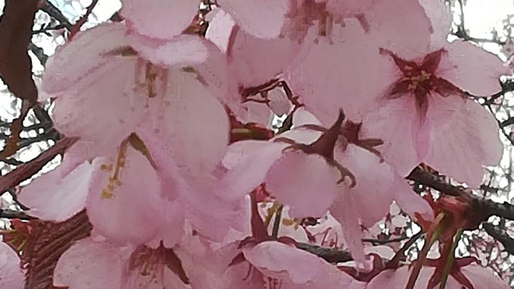 kirsikkapuu kukassa.
