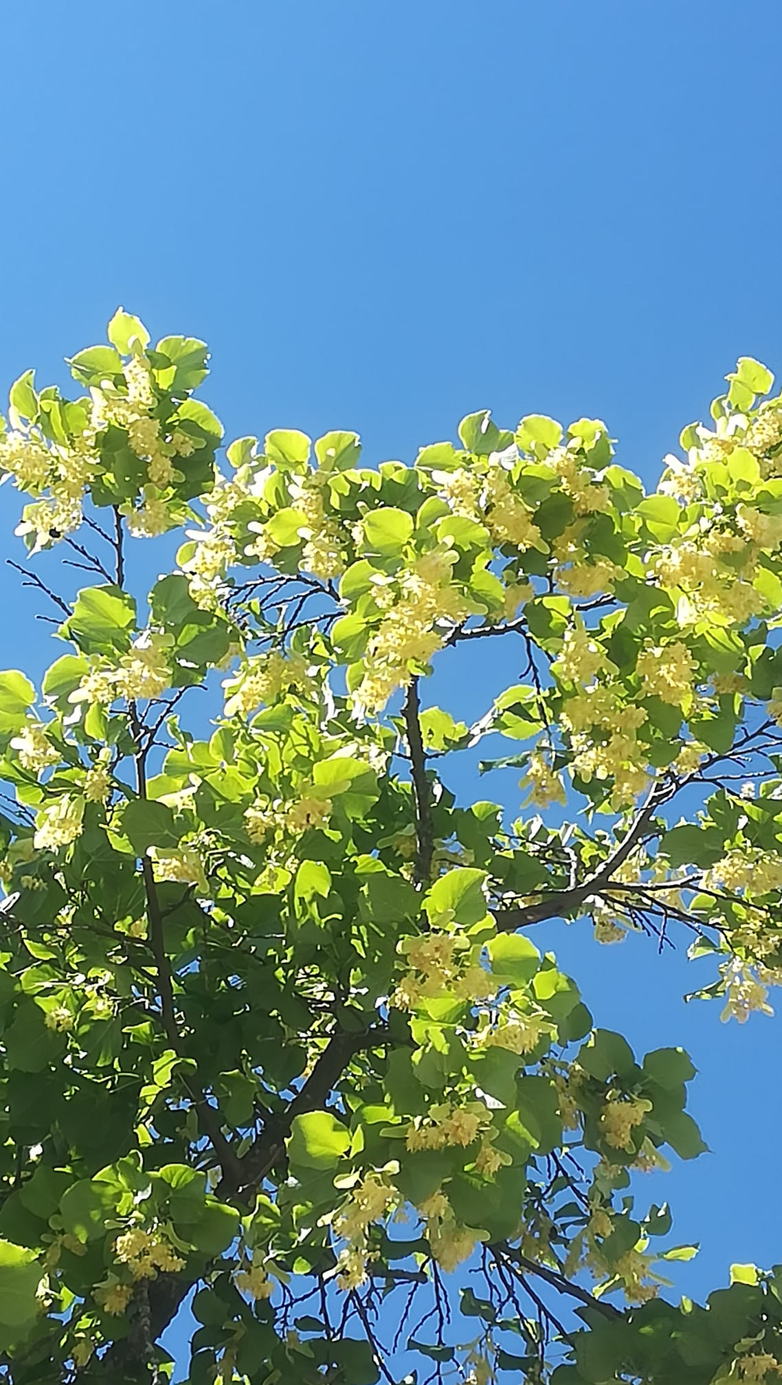 Auringossa kylpeviiä vihreitä ja kukassa olevia puun oksia ja lehtiä.