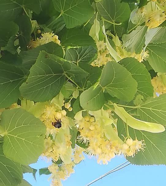 Puun lehtiä, kukkia ja mehiläinen.