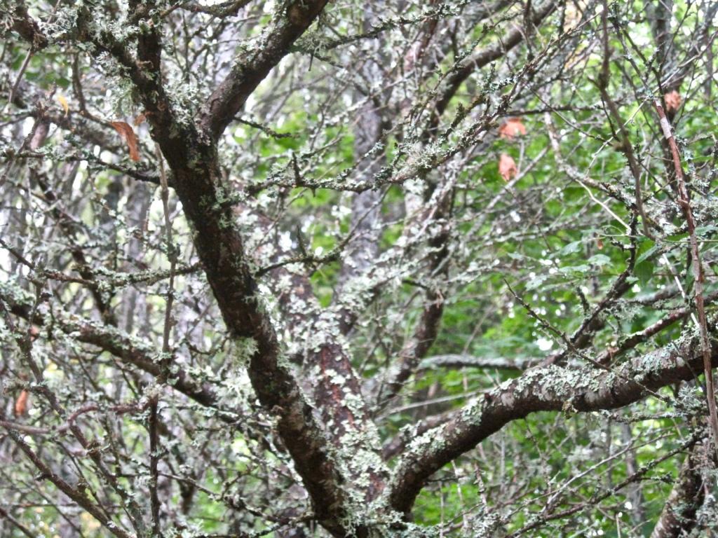 Puun oksia lehtien kanssa ja ilman.