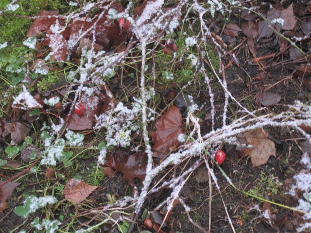 Huurteiset oksat puutarhassa, maassa näkyy muutama koristepensaan marja.