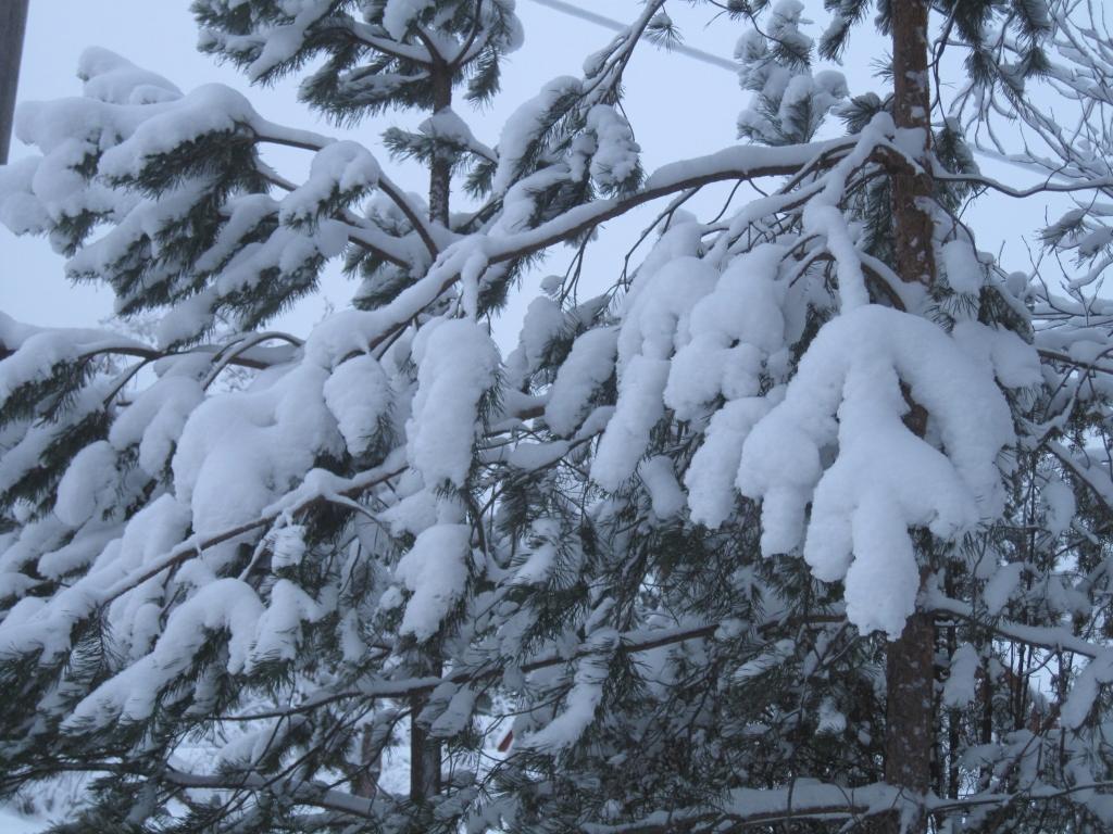 Pihapuun oksilla valkoista, uutta lunta.