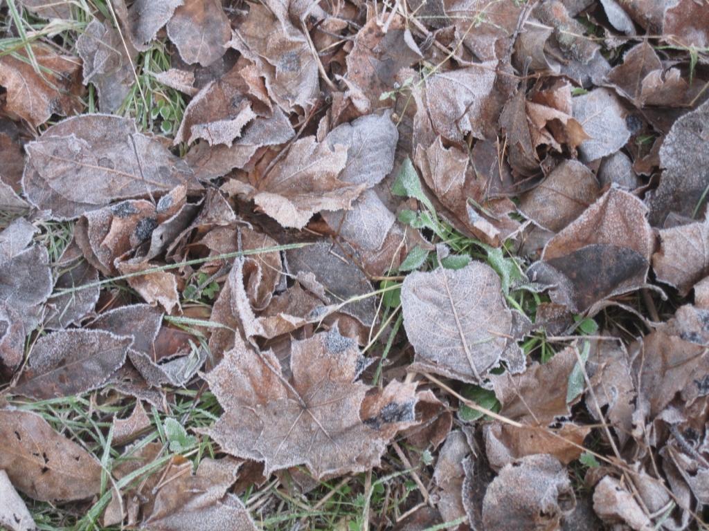Maahan pudonneita lehtiä, vaahteran, luumupuun ja pajun lehtiä. Tumman ruskeiksi muuttuneita, jalan alla rahisevia.