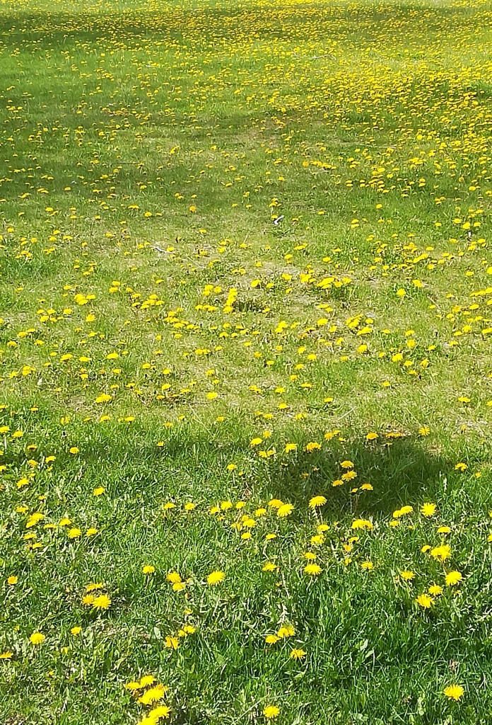 Voikukkia vihreällä ruohollla keltaisenaan.