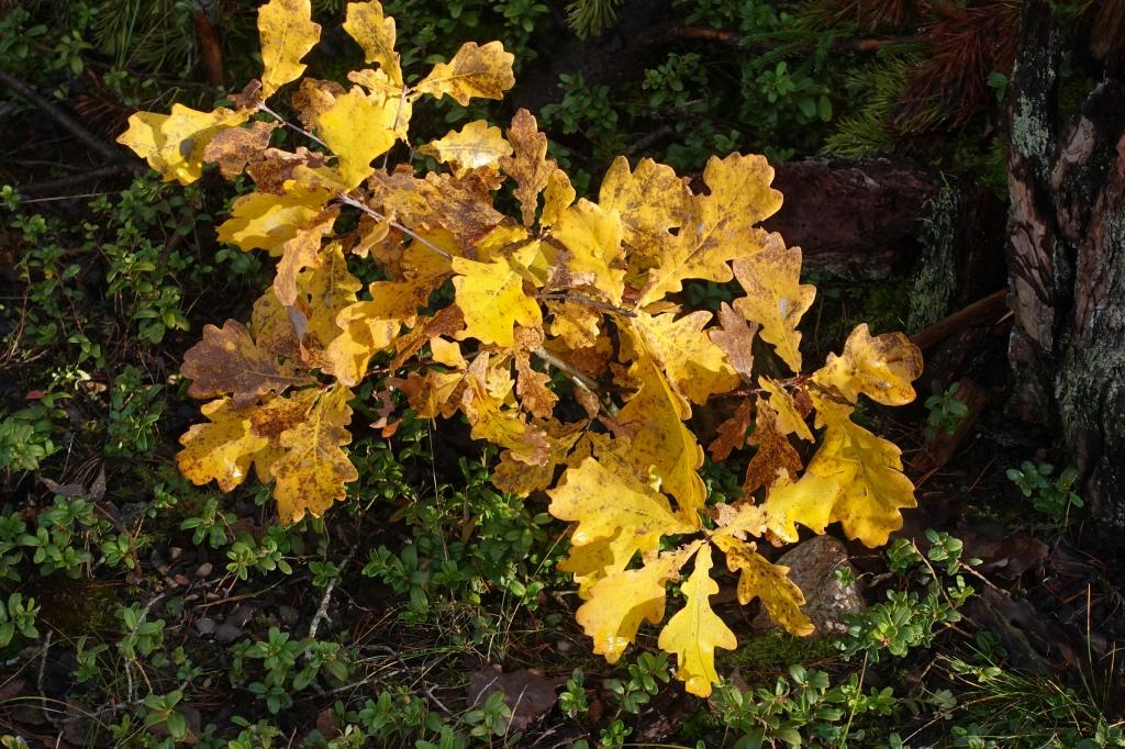 Keltainen tammen taimi.