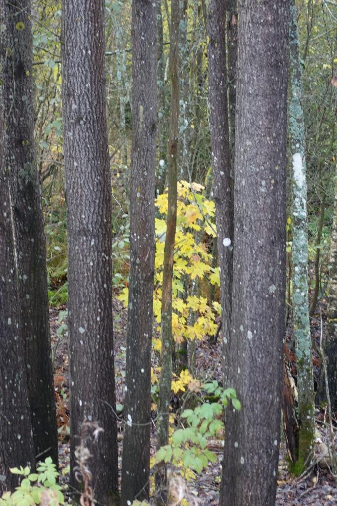 Haavikko, jonka keskellä kasvaa pieni vaahtera. Vaahtera on vielä täynnä lehtiä, keltaisia.