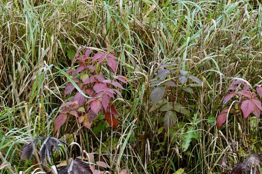 Tienlaidan kasvien värejä, lehdissä tummaa punaista ja vihreää.