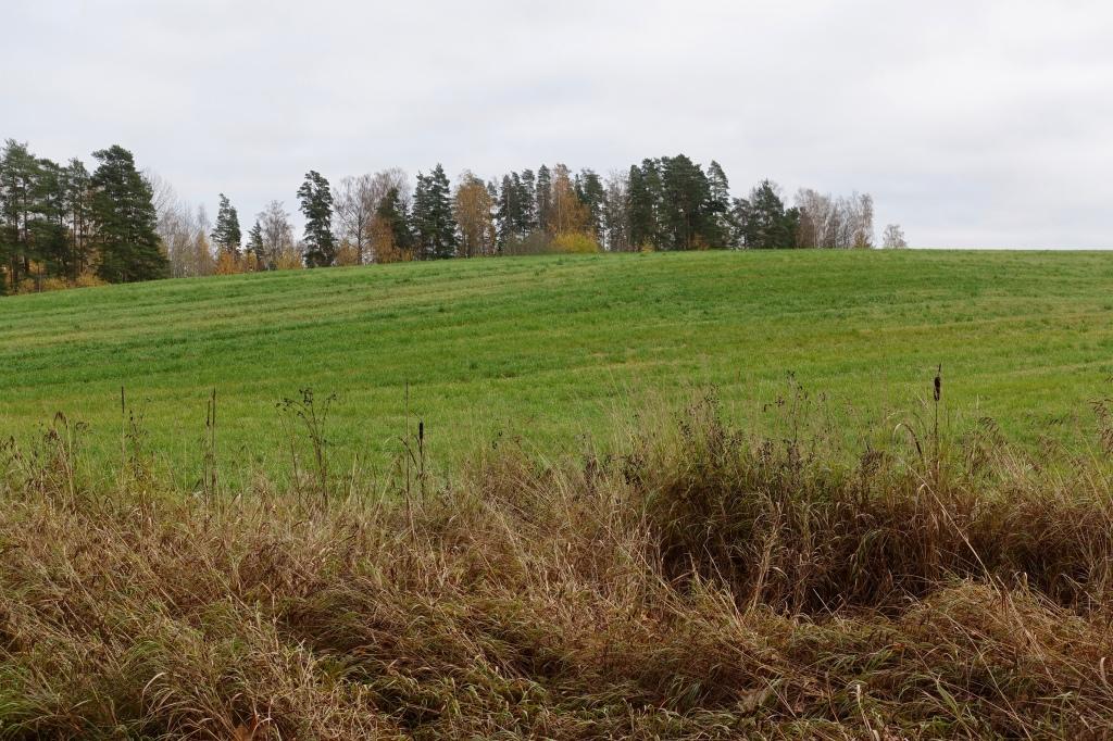 Peltomaisema, pellon laidalla kaksi yksinäistä osmankäämiä, pamppuja.