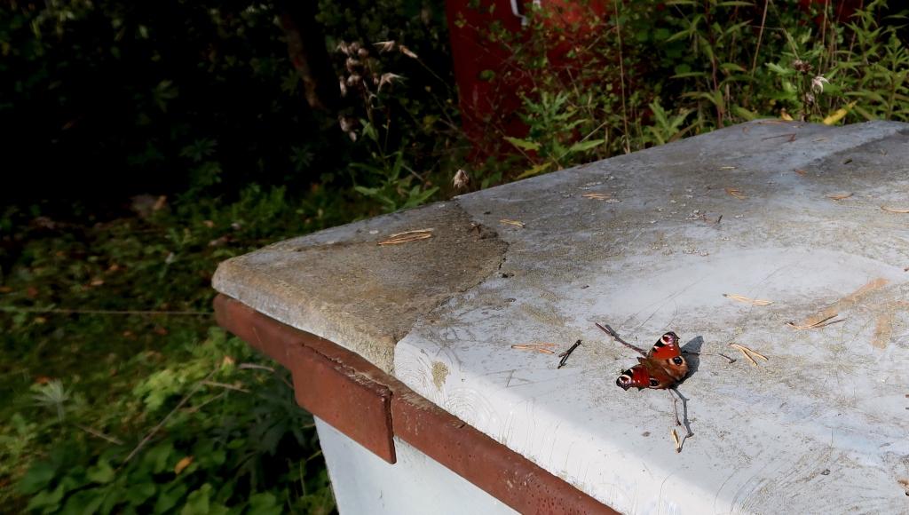 Kaunis neitoperhonen kompostiastian päällä istumassa.