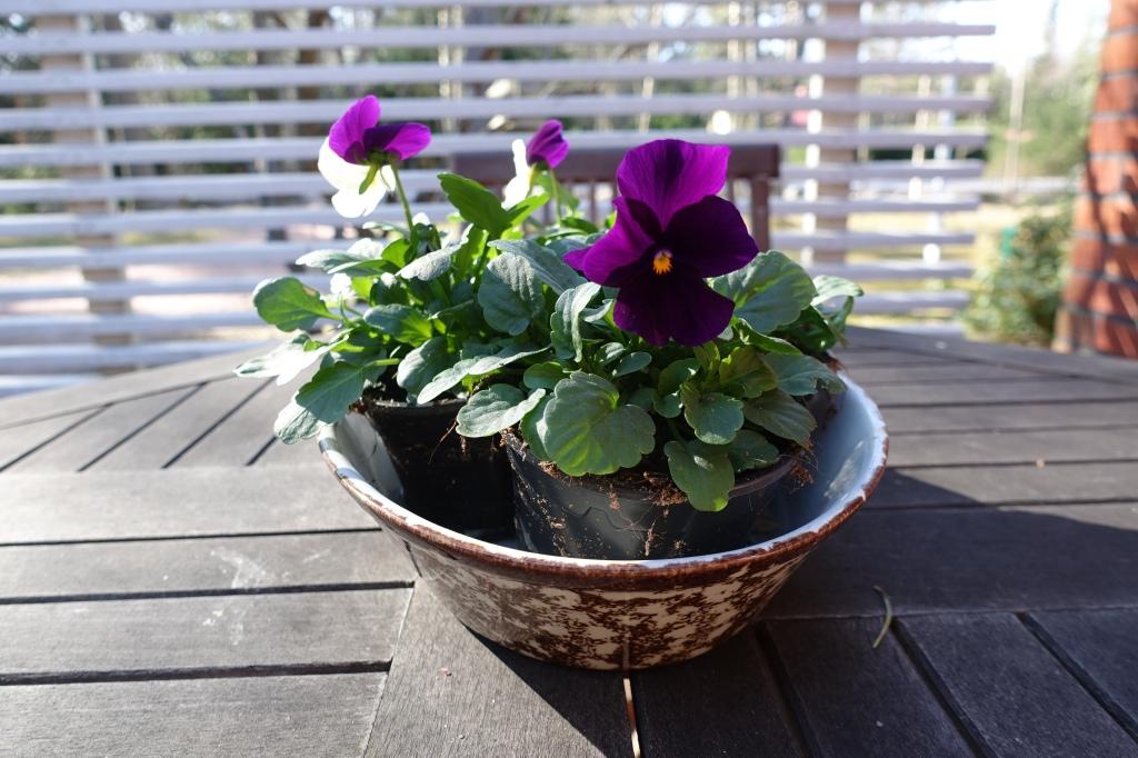Vanhassa uunivuoassa kukkivat orvokit, keväisellä pihapöydällä.