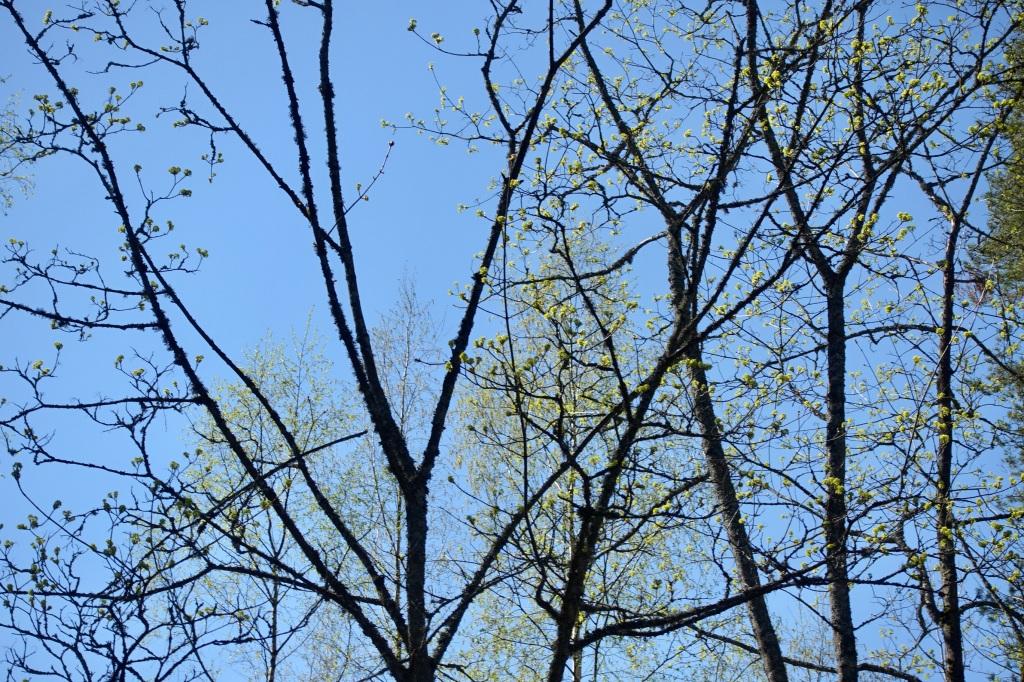 vaahterapuun oksia