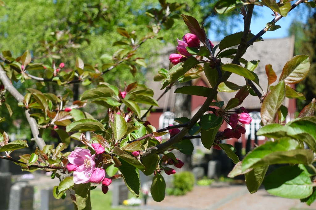 KIrkkomaan koristepuu on kukassa.  Kirkko kuultaa oksien takaa.
